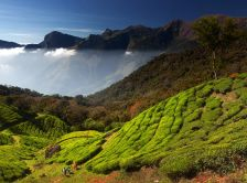 tea-fields-kerala-south-india_50714_990x742