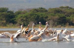 Pelicans at Chamo Lake, Nechi Sar, Ethiopia