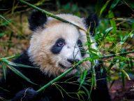 panda-cute-800x600